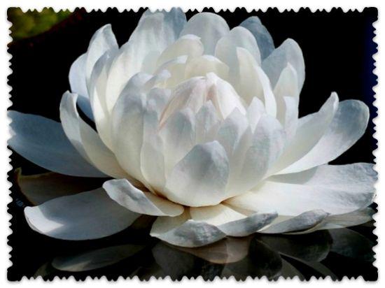 растение Виктория Регия
