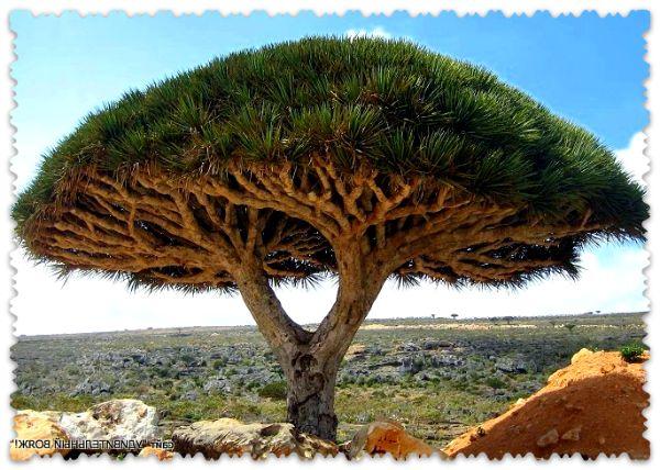 дерево «Кровь дракона»
