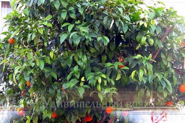 апельсины в мае в Турции