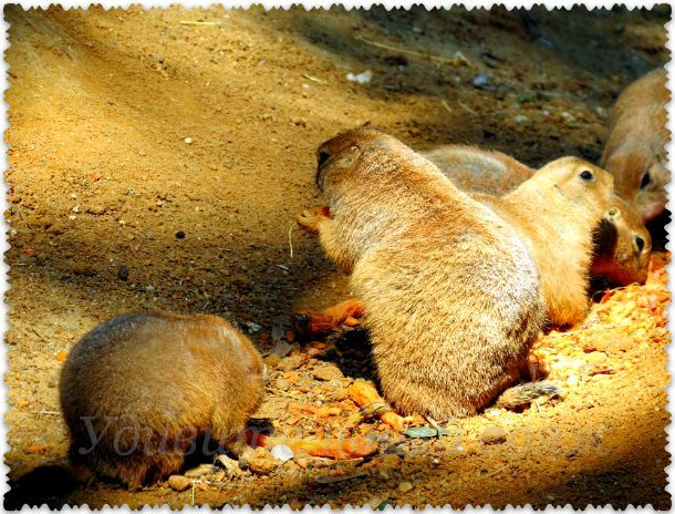 луговые собачки