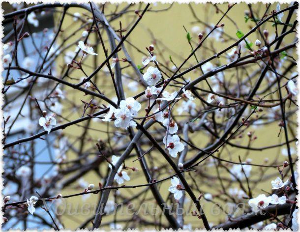 цветение в Стамбуле, февраль