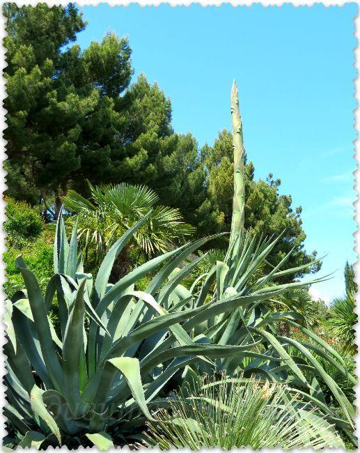 agava v parke «Ajvazovskoe»