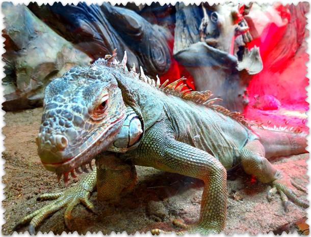 iguana zelenaja