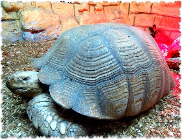 черепаха шпороносная