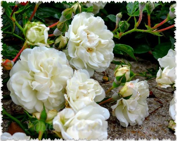 rozy v Nikitskom sadu