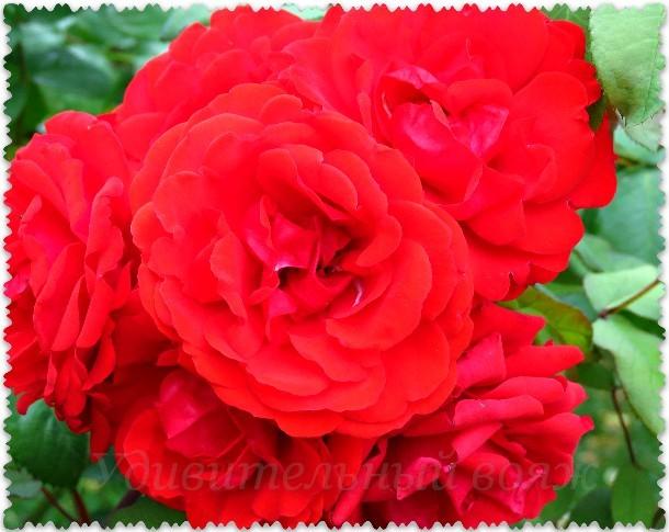Parad roz yv Nikitskom botanicheskom sadu