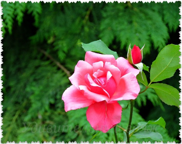 parad roz v Jalte