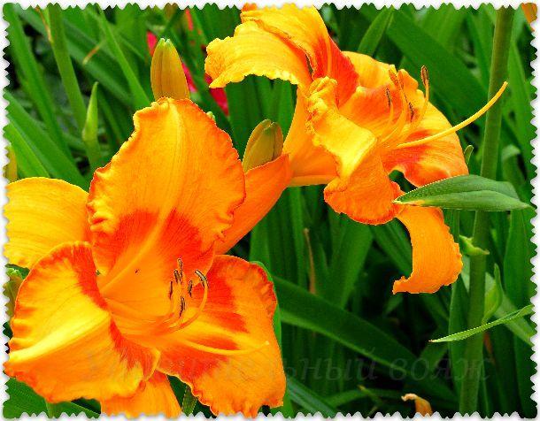lilii v Nikitskom botanicheskom sadu