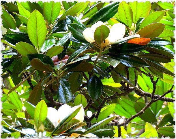 magnolija v Nikitskom botanicheskom sadu