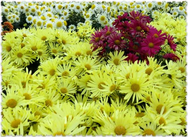hrizantemy na vystavke cvetov