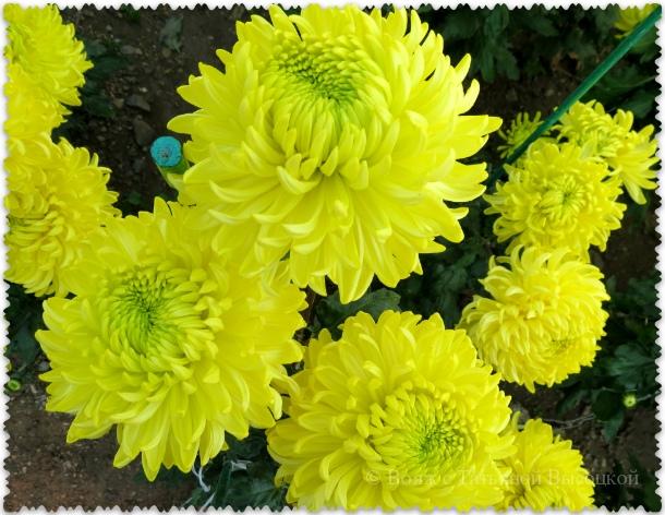 Hrizantema Polisadena Yellow v Nikitskom sadu