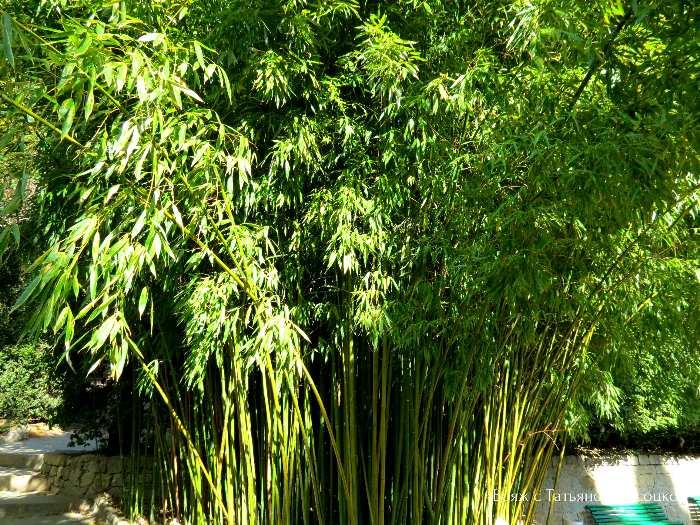 bambuk v Nikitskom sadu