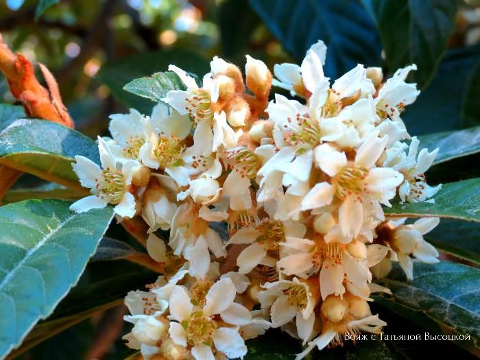 cvetushhaja mushmula