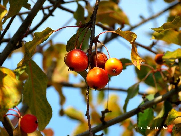 jablonja purpurnaja