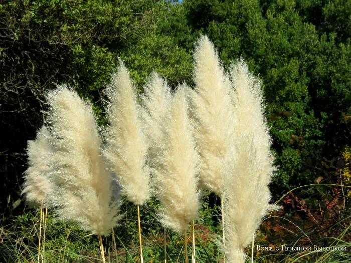 pampasskaja trava v Nikitskom sadu