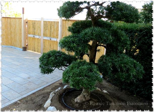 bonsaj v parke Ajvazovskoe