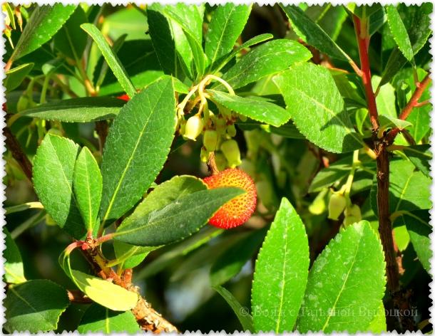 zemljanichnoe derevo v olivkoaoj roshhe parka Paradiz