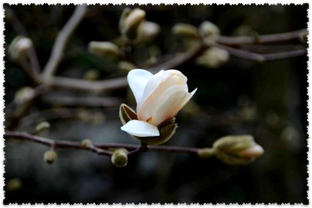 magnolija v marte v Nikitskom sadu