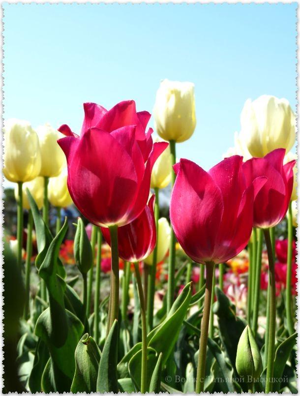 розовые тюльпаны на выставке в Ялте
