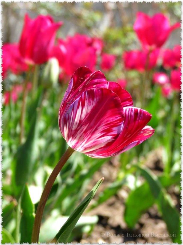 розовые тюльпаны в Никитском ботаническом саду