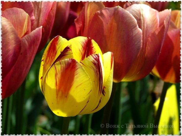 желтые тюльпаны в Никитском саду