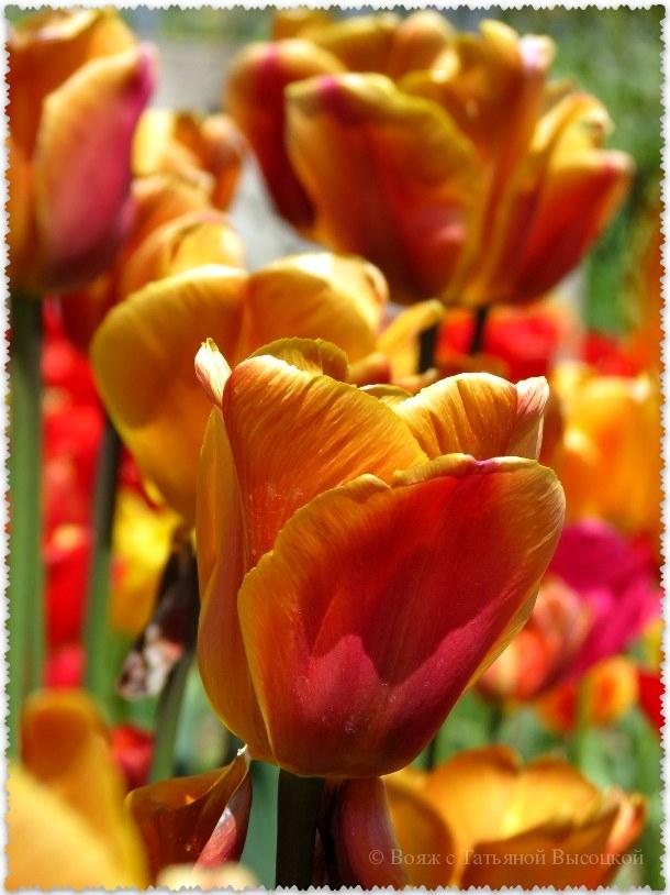 """тюльпаны в  НБС - """"Malaika"""""""