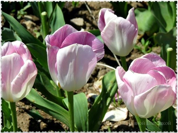 """тюльпаны """"Barbados"""""""