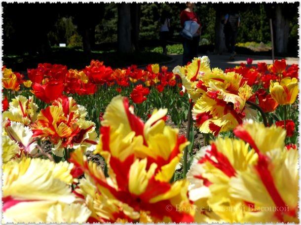 тюльпаны Flaming Parrot