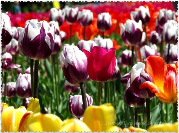 Парад тюльпанов в Никитском саду 2015