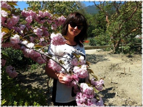 сакура в Никитском саду