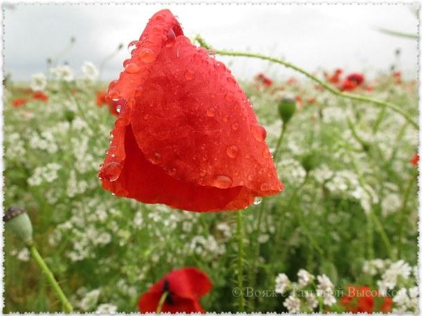 makovye polja v Krymu