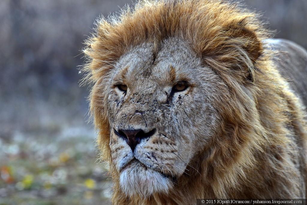 Львы в сафари-парке Тайган