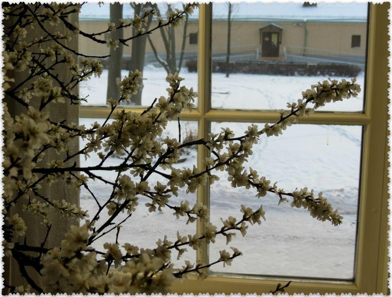 в Царицыно в январе цветет вишня