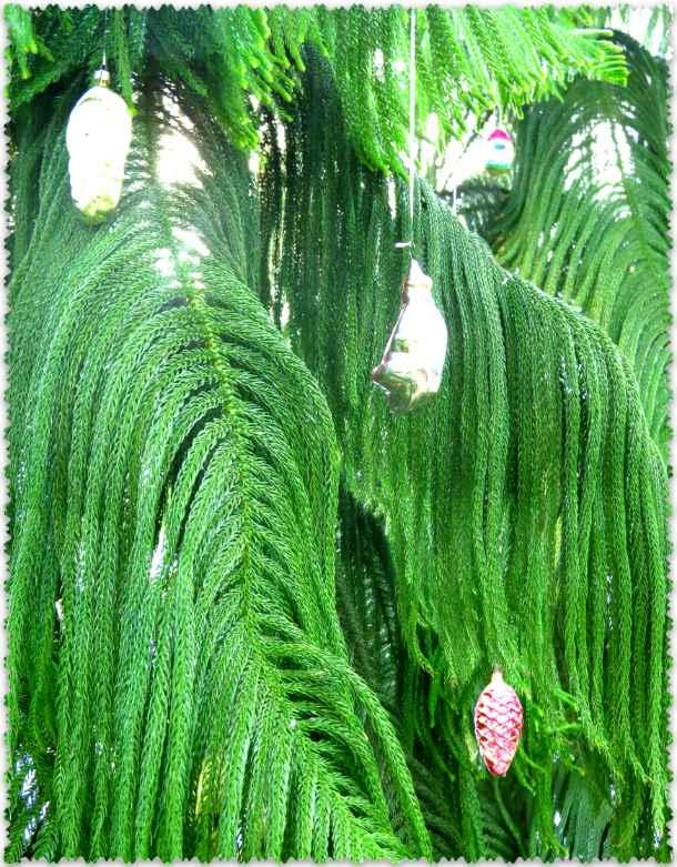 араукария в царицынской оранжерее