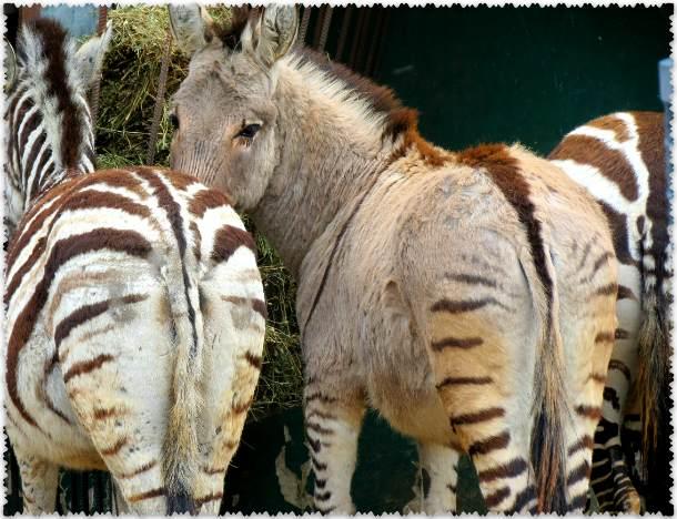 зебры в парке Тайган