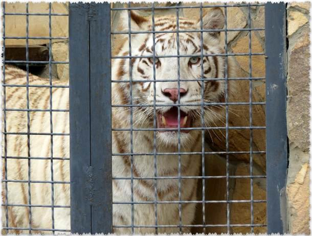 белый тигр в парке Тайган