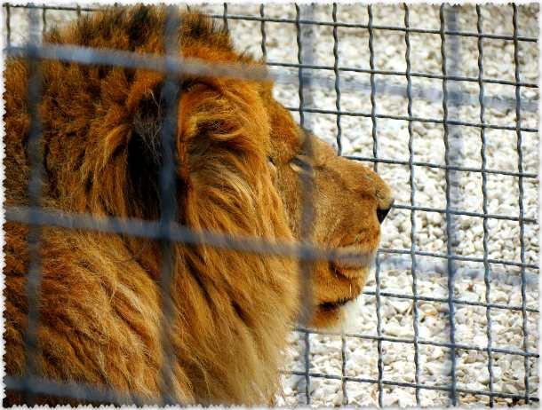 львы в закрытом парке Тайган