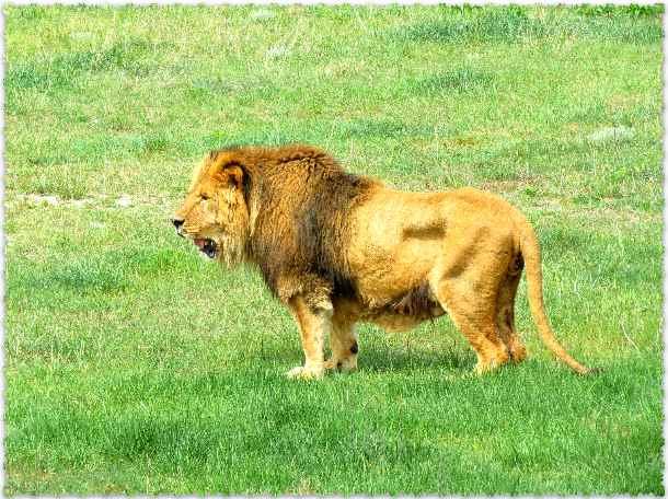лев Рома в сафари-парке Зубкова