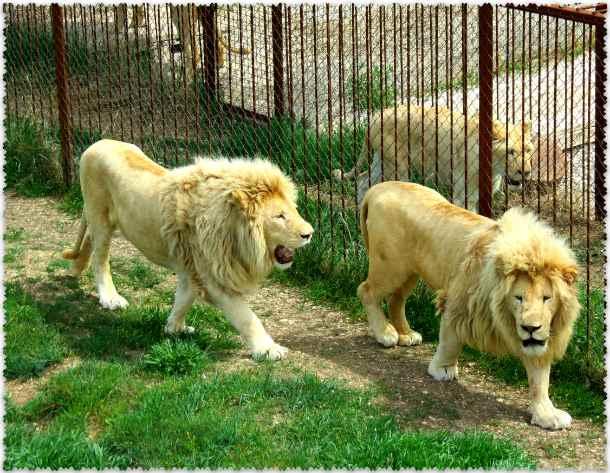 Otkrytie v safari-parke «Tajgan»