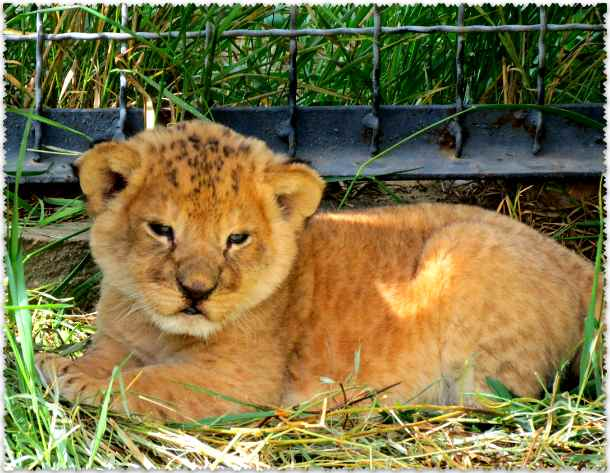 фото со львенком в парке Тайган