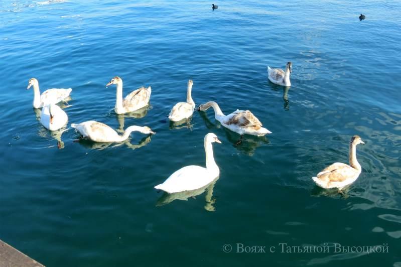 lebedi v Sevastopole