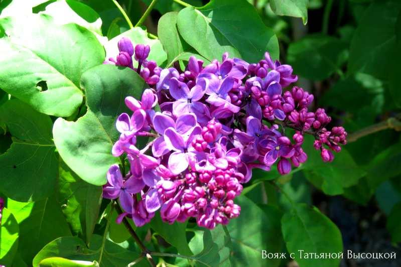 cvetenie v Nikitskom botanicheskom sadu