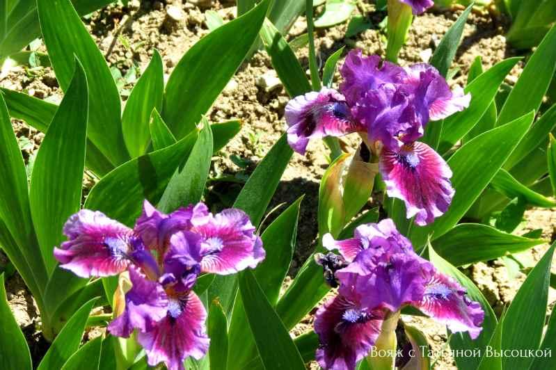kogda cvetut irisy a NBS
