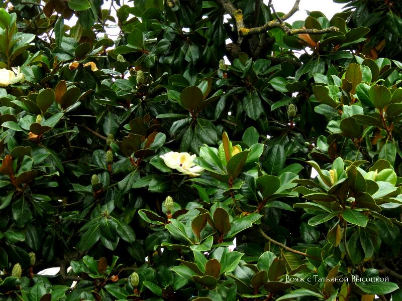 v Alushte cvetet magnolija