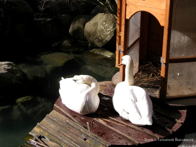 lebedi v parke Ajvazovskoe