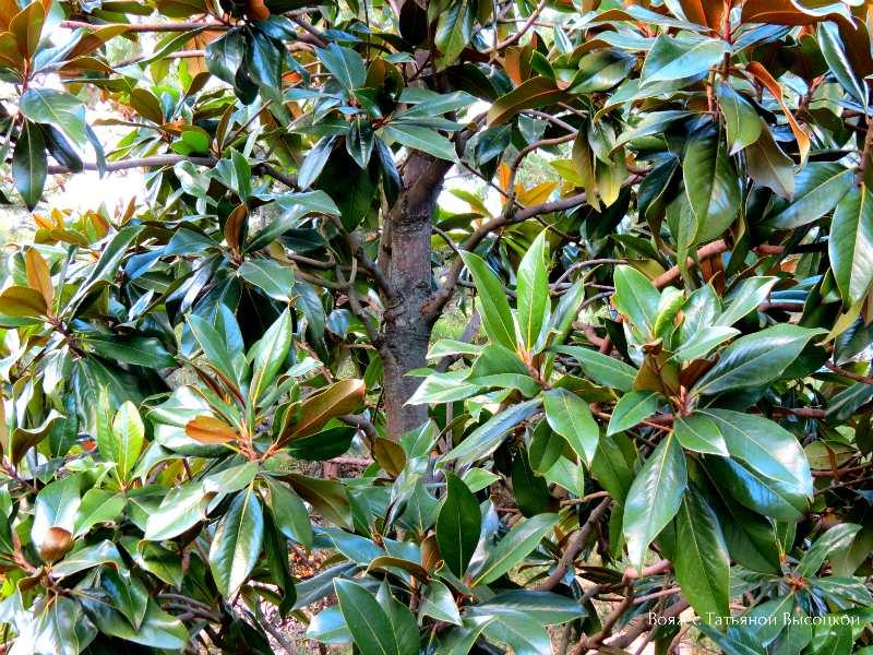 magnolija v parke Ajvazovskoe
