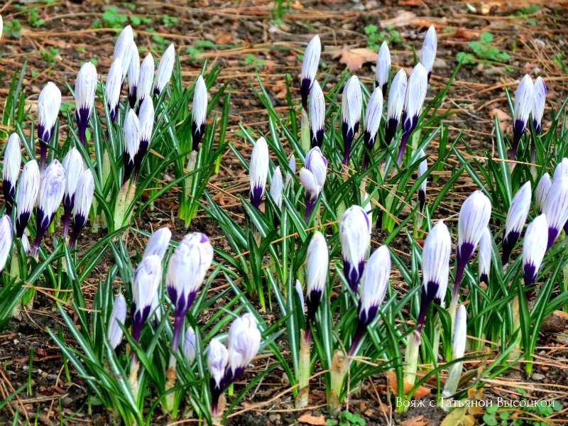 vesennie cvety v parke Ajvazovskoe