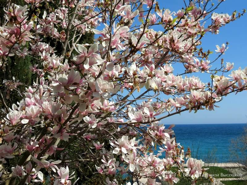 magnolija v Krymu