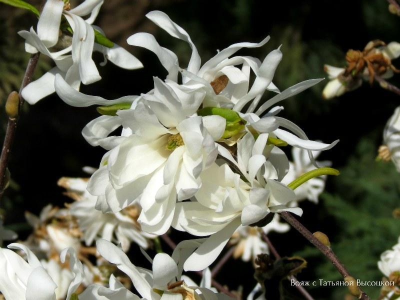 zvezdchataja magnolija