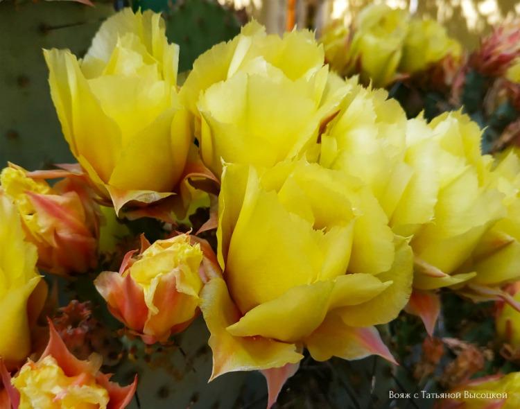 v-iyune-cvetet-kaktus-opunciya